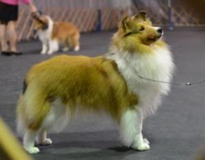 Conformation Class – Companion Dog Training Club of Flint